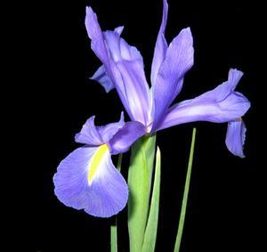 Indications pour peindre une fleur d'Iris