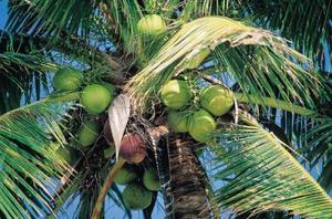 Comment polonais avec un brou de noix de coco