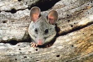 Comment Tuer Un Rat : tuer rat ~ Mglfilm.com Idées de Décoration