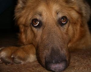 Traitements naturels pour les chiens avec la maladie de Cushing