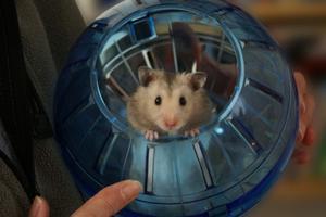 Comment prendre soin des bébés Hamster nain