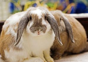 trichotillomanie chez le lapin. Black Bedroom Furniture Sets. Home Design Ideas