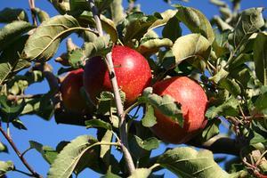 Comment fermer pour planter des arbres fruitiers pour la pollinisation