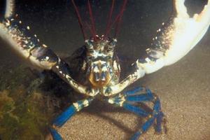 Comment prendre soin de homard bleu