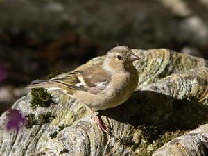 Sympt mes de poux des oiseaux for Maladie poules perte plumes