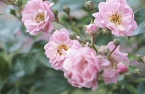 Pourquoi y A-t-il des mouches sur mes Roses ?