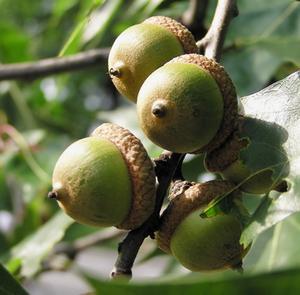 Vivre chêne espacement & plantation