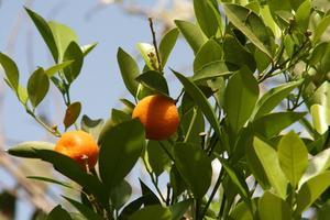 Comment prendre soin d'un oranger en hiver