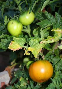 Maladie de carence dans les plants de tomates for Vers dans les tomates