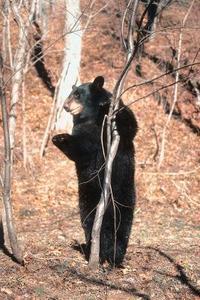 Comment dessiner un ours debout - Comment dessiner un ours ...