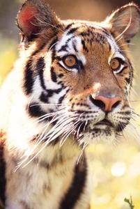 Comment dessiner un tigre simple - Comment dessiner un tigre ...