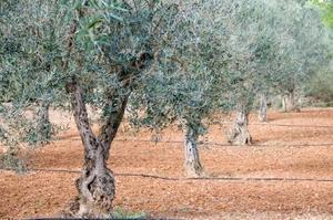 Comment obtenir un olivier pour produire plus d'Olives