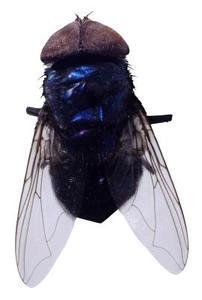 Pourquoi les mouches dans ma maison au début de mars ?