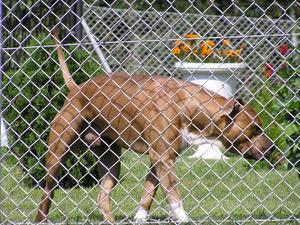 Signes & les symptômes d'une Prostate hypertrophiée chez le chien
