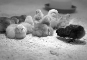Comment puis-je placer un œuf de poule dans un incubateur ?