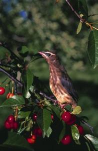 Comment faire pour prot ger les arbres fruitiers des oiseaux qui mangent - Eloigner les oiseaux des arbres fruitiers ...