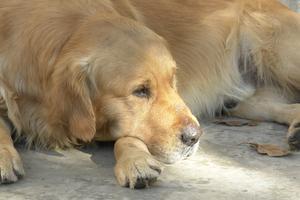 Syndrome vestibulaire gériatrique chez le chien