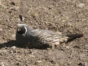 Comment élever les cailles de nidification