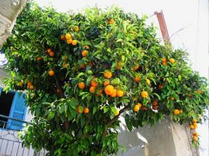 Quel genre de sol aimez orangers ?