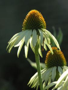 Fleurs de floraison plus longues