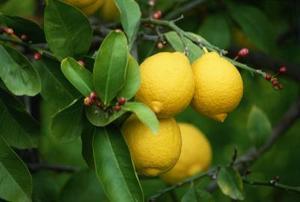 Combien de temps cela prend-il pour les citrons à mûrir sur un citronnier ?