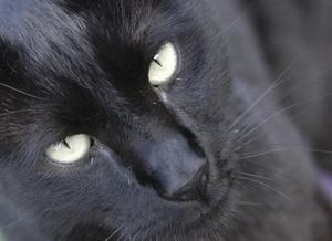 Comment savoir si votre chat a des puces ou peau sèche