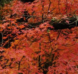 Feuilles d'arbres érable rouge du Japon sont shriveling vers le haut sur les branches