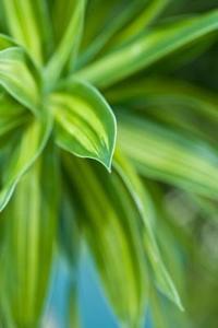 Plantes à feuilles panachées verts & jaunes