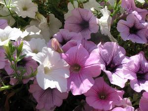 Comment trouver des fleurs de Bach pour chiens