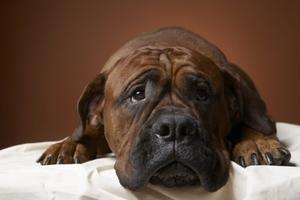 Symptômes des tumeurs de la rate chez le chien