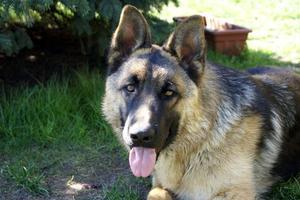 Les effets secondaires de Heartguard pour chiens
