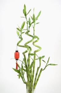 Comment re-Pot un Plant de bambou