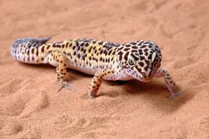 Comment construire un incubateur pour oeufs de Gecko léopard