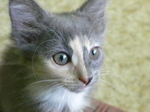 Fermeture de la plaie chirurgicale chez le chat après castration