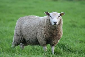 Quel Type de clôture est nécessaire pour les moutons ?