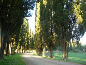 Bouture cypres leyland - Plantation cypres de leyland ...