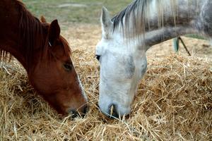 Meules de foin à cheval se nourrissent