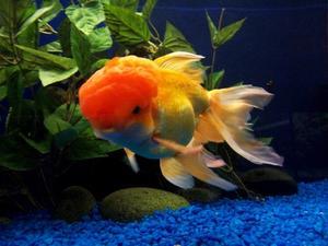 Comment ajouter du sel pour aquarium poisson rouge