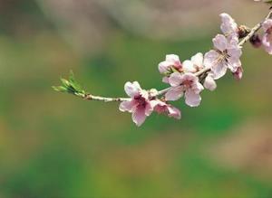 Le meilleur moment pour planter un cerisier pleurant