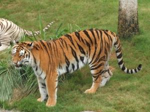 Comment dessiner un tigre avec corel 12 - Comment dessiner un tigre ...