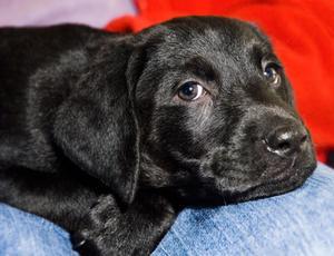 Comment dresser un chiot Labrador noir à cesser d'aboyer