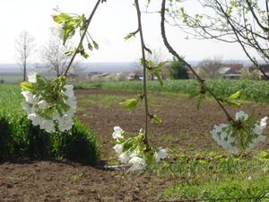 Les feuilles de cerisier pleureur sont tournent Brown