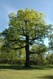 Live Oak Tree problèmes
