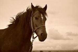 Comment guérir les acarides d'oreille chez les chevaux