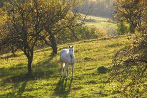 Cerisiers sont toxiques pour les chevaux ?