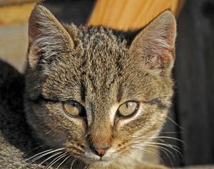 Remèdes maison pour les problèmes oculaires chez un chat