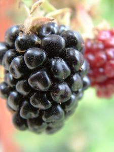 Information sur les plantes sans épines Blackberry