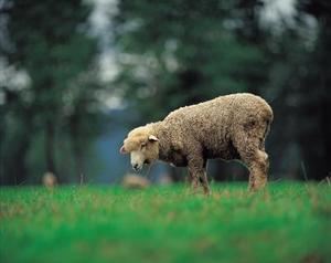 Comment faire un mouton de tissu