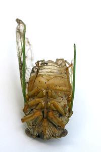 Insectes volants qui s'enfouissent dans le sol à proximité des jardins