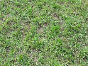 Comment tuer commune Bermuda Grass